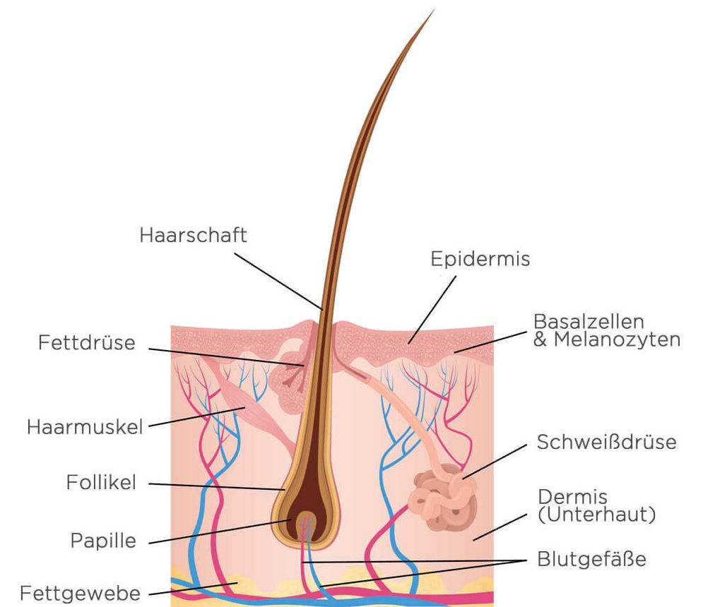 Haaranatomie   Goldbek Medical